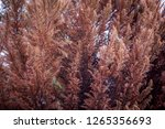 pine trees turning brown. | Shutterstock . vector #1265356693