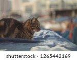 cat on wet tarp. | Shutterstock . vector #1265442169