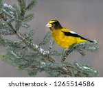 male evening grosbeak on spruce ... | Shutterstock . vector #1265514586