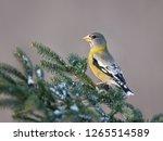 female evening grosbeak on... | Shutterstock . vector #1265514589