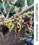 flowers of the hamamelis   Shutterstock . vector #1265576803