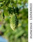 bitter melon  bitter gourd or... | Shutterstock . vector #1265630023