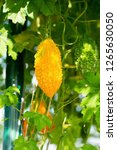 bitter melon  bitter gourd or... | Shutterstock . vector #1265630050
