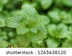 papermint leaf green plants  in ... | Shutterstock . vector #1265638120