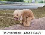 brown poodle dog pooping... | Shutterstock . vector #1265641609