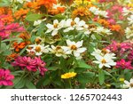 Zinnia flower  zinnia violacea...