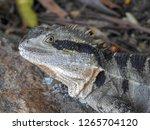 closeup of australian water... | Shutterstock . vector #1265704120