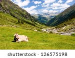 Cow On Mountain Pasture In The...
