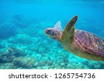Sea turtle in blue water. Friendly marine turtle underwater photo. Oceanic animal in wild nature. Summer vacation activity. Snorkeling or diving banner template. Tropical seashore with sea tortoise