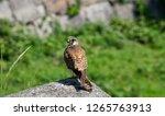 common kestrel landed on the... | Shutterstock . vector #1265763913