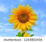 field of blooming sunflowers... | Shutterstock . vector #1265802436