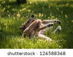 Smooth Collie Rolling On The...
