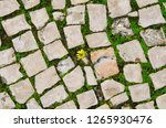 small yellow flower growing... | Shutterstock . vector #1265930476