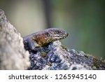skink   australian lizard... | Shutterstock . vector #1265945140