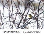 great tit  parus major wild...   Shutterstock . vector #1266009400