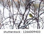 great tit  parus major wild...   Shutterstock . vector #1266009403