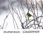 great tit  parus major wild...   Shutterstock . vector #1266009409