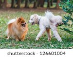 poodle doing the symbol to... | Shutterstock . vector #126601004