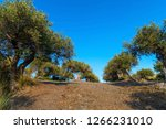 view of olive grove in the... | Shutterstock . vector #1266231010