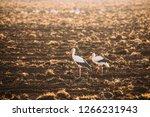 Two Adult European White Storks ...