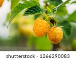Yellow Or Golden Raspberries....