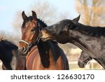brown and black horses nuzzling ... | Shutterstock . vector #126630170