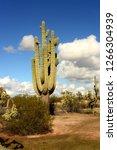 saguaro cactus cereus giganteus ... | Shutterstock . vector #1266304939