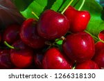 lapin cherries   they are a new ... | Shutterstock . vector #1266318130