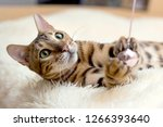 Stock photo cute cat is playing with a toy at home 1266393640