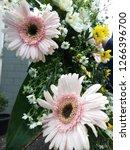 gerbera is a genus of... | Shutterstock . vector #1266396700