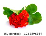 Flower Red Geranium Isolated O...