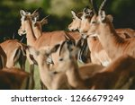 group female impala in massai... | Shutterstock . vector #1266679249