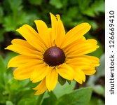 Bright Yellow Rudbeckia Or...