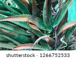 aloe vera leaves | Shutterstock . vector #1266752533