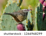 Cactus Wren Perched On A...