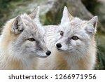 Double Portrait Of Corsac Fox ...