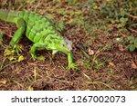 juvenile green iguana...   Shutterstock . vector #1267002073
