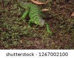juvenile green iguana...   Shutterstock . vector #1267002100