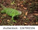 juvenile green iguana...   Shutterstock . vector #1267002106