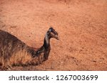 emu dromaius novaehollandiae ...   Shutterstock . vector #1267003699