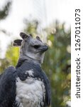 harpy eagle harpia harpyja...   Shutterstock . vector #1267011073