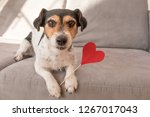 Stock photo cute romantic jack russell terrier dog lovable dog is holding a heart to the valentine s day in 1267017043