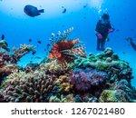 Red lionfish  pterois volitans  ...