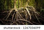 rainforest mangrove roots... | Shutterstock . vector #1267036099