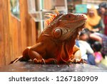 the iguana is a genus of... | Shutterstock . vector #1267180909