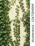 a wall of common ivy. usuable... | Shutterstock . vector #1267204009