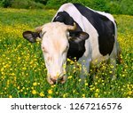 cows  on a summer pasture | Shutterstock . vector #1267216576