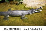 A matured male Indian gharial (Gavialis gangeticus), a fish-eating crocodile is resting in shallow water. It develops a hollow bulbous nasal protuberance at the tip of the snout.