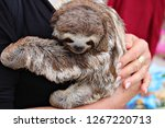 a woman holds a baby sloth in... | Shutterstock . vector #1267220713