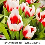 colorful tulips in garden | Shutterstock . vector #126725348